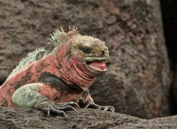 iguana-1745-galapagos-copyright-photographers-on-safari-com