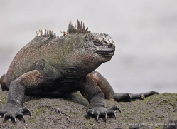 iguana-1748-galapagos-copyright-photographers-on-safari-com