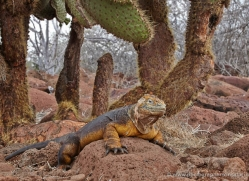 iguana-1751-galapagos-copyright-photographers-on-safari-com
