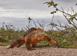 iguana-1753-galapagos-copyright-photographers-on-safari-com