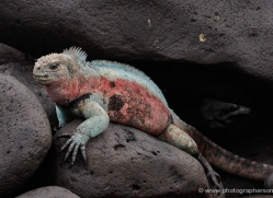 iguana-1755-galapagos-copyright-photographers-on-safari-com