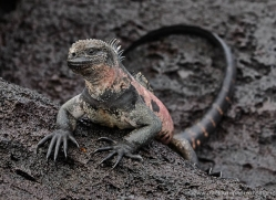 iguana-1756-galapagos-copyright-photographers-on-safari-com