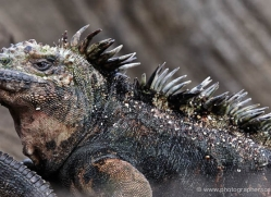 iguana-1758-galapagos-copyright-photographers-on-safari-com