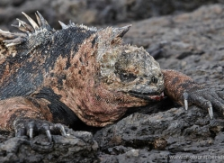 iguana-1760-galapagos-copyright-photographers-on-safari-com