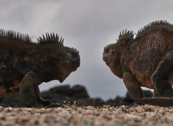 iguana-1762-galapagos-copyright-photographers-on-safari-com