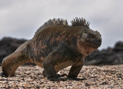 iguana-1763-galapagos-copyright-photographers-on-safari-com