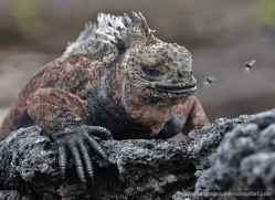 iguana-1764-galapagos-copyright-photographers-on-safari-com