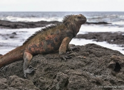 iguana-1765-galapagos-copyright-photographers-on-safari-com