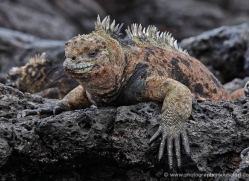 iguana-1766-galapagos-copyright-photographers-on-safari-com
