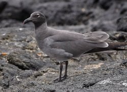 lava-gull-1869-galapagos-copyright-photographers-on-safari-com