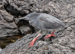 lava-heron-1882-galapagos-copyright-photographers-on-safari-com