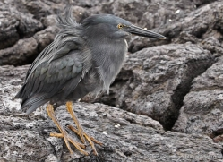 lava-heron-1883-galapagos-copyright-photographers-on-safari-com