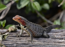 lizard-1862-galapagos-copyright-photographers-on-safari-com