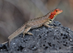 lizard-1863-galapagos-copyright-photographers-on-safari-com