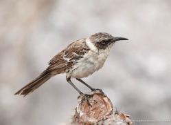 mockingbird-1876-galapagos-copyright-photographers-on-safari-com