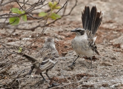 mockingbird-1878-galapagos-copyright-photographers-on-safari-com