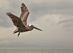 pelican-1831-galapagos-copyright-photographers-on-safari-com