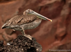 pelican-1833-galapagos-copyright-photographers-on-safari-com