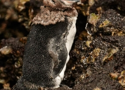 penguin-1821-galapagos-copyright-photographers-on-safari-com