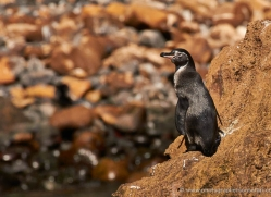 penguin-1823-galapagos-copyright-photographers-on-safari-com