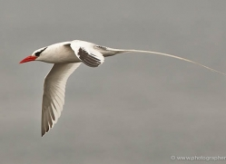 red-billed-tropicbird-1864-galapagos-copyright-photographers-on-safari-com