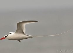 red-billed-tropicbird-1865-galapagos-copyright-photographers-on-safari-com