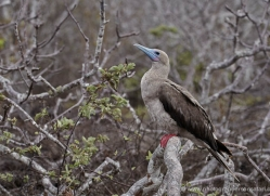 red-footed-booby-1845-galapagos-copyright-photographers-on-safari-com