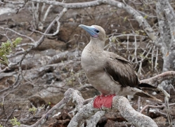 red-footed-booby-1846-galapagos-copyright-photographers-on-safari-com