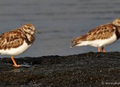 ruddy-turnstone-1888-galapagos-copyright-photographers-on-safari-com