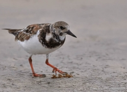 ruddy-turnstone-1889-galapagos-copyright-photographers-on-safari-com