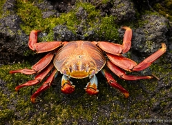 sally-lightfoot-crab-1792-galapagos-copyright-photographers-on-safari-com