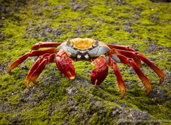 sally-lightfoot-crab-1793-galapagos-copyright-photographers-on-safari-com
