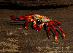 sally-lightfoot-crab-1794-galapagos-copyright-photographers-on-safari-com
