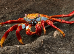 sally-lightfoot-crab-1795-galapagos-copyright-photographers-on-safari-com