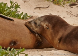sealion-1854-galapagos-copyright-photographers-on-safari-com