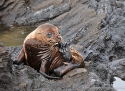 sealion-1857-galapagos-copyright-photographers-on-safari-com