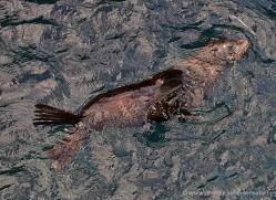 sealion-1858-galapagos-copyright-photographers-on-safari-com