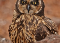 short-eared-owl-1859-galapagos-copyright-photographers-on-safari-com