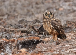 short-eared-owl-1860-galapagos-copyright-photographers-on-safari-com
