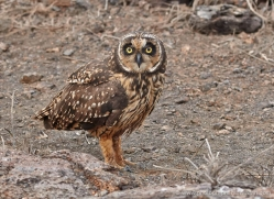 short-eared-owl-1861-galapagos-copyright-photographers-on-safari-com