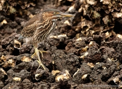 striated-heron-1884-galapagos-copyright-photographers-on-safari-com