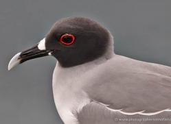 swallow-tailed-gull-1868-galapagos-copyright-photographers-on-safari-com