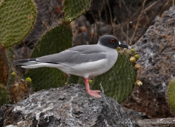 swallow-tailed-gull-1870-galapagos-copyright-photographers-on-safari-com