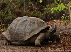 tortoise-1770-galapagos-copyright-photographers-on-safari-com