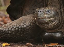 tortoise-1771-galapagos-copyright-photographers-on-safari-com