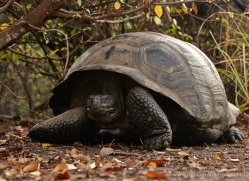 tortoise-1772-galapagos-copyright-photographers-on-safari-com