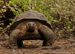tortoise-1773-galapagos-copyright-photographers-on-safari-com