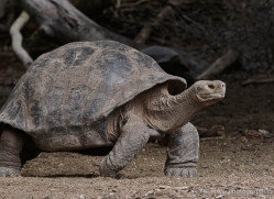tortoise-1778-galapagos-copyright-photographers-on-safari-com