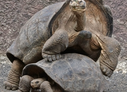 tortoise-1780-galapagos-copyright-photographers-on-safari-com