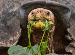 tortoise-1782-galapagos-copyright-photographers-on-safari-com